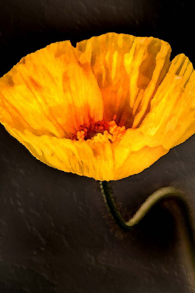 Artistic Yellow Spring Poppy 4-5-20 397