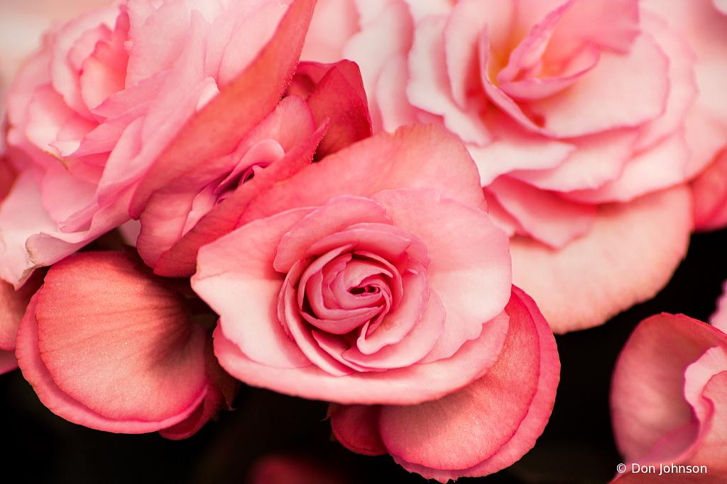 Pink Begonai 4-5-20 165