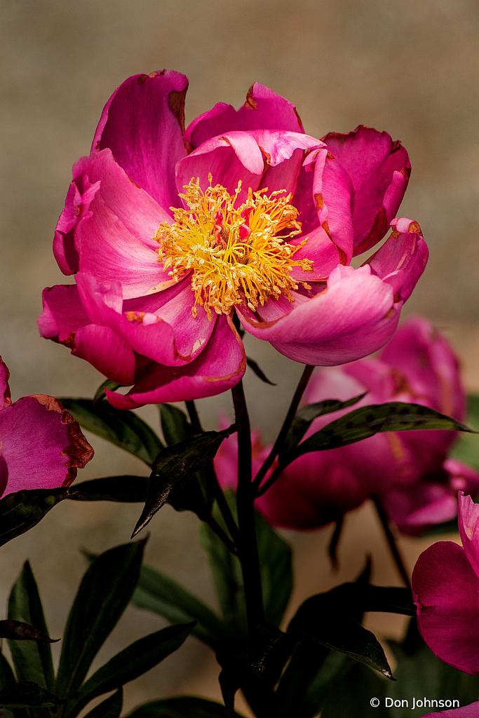 Wonderful Pink Peony 5-24-20 027