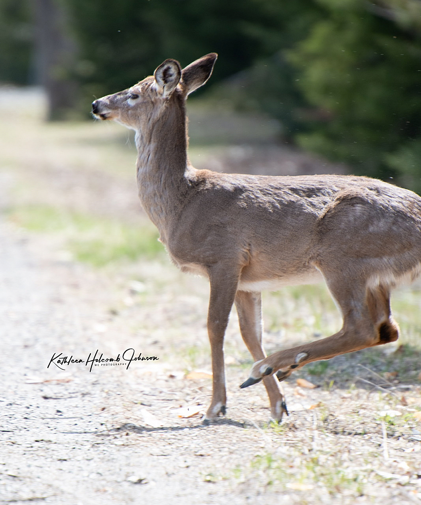 Deer About To Cross The Road! 2