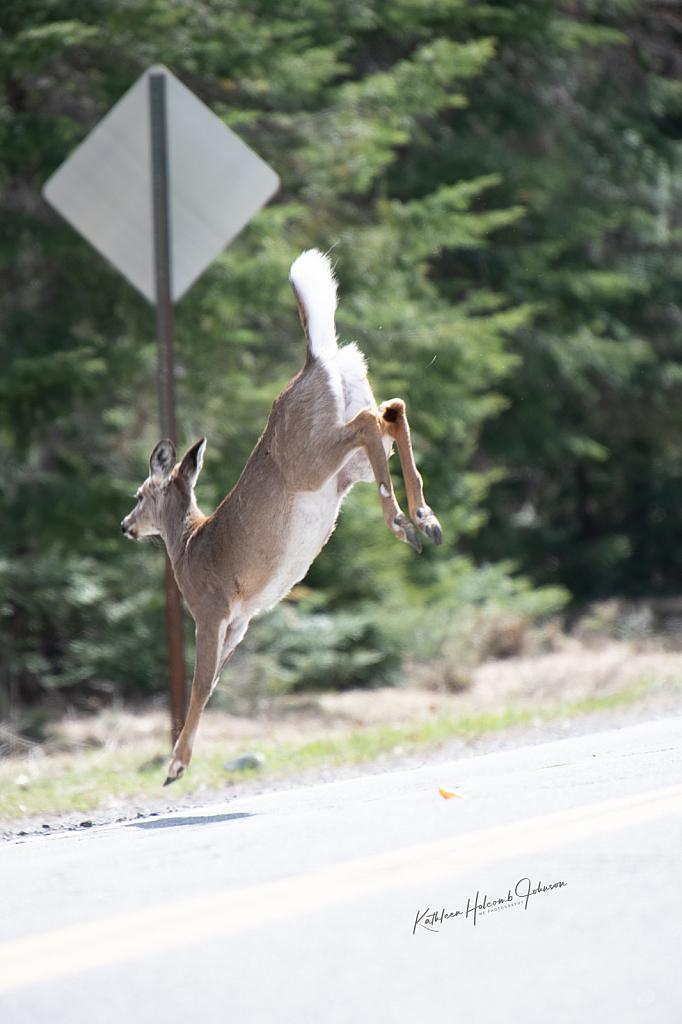 Deer Jumping Across The Road! 4
