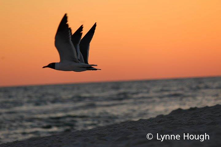 Three-winged Gull