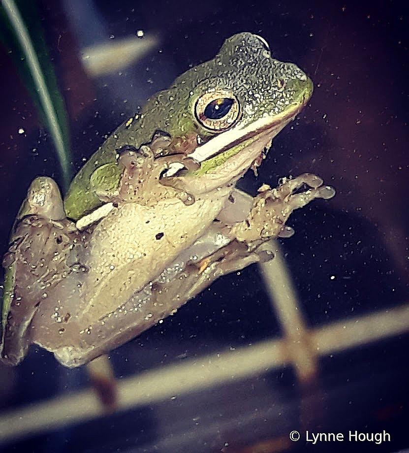 Florida tree frog