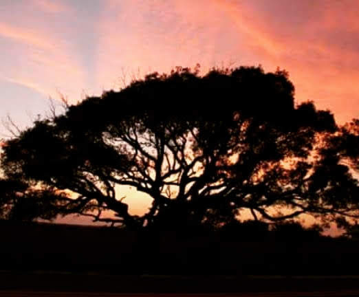Elegant tree at Ft Pickens