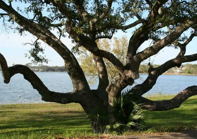 Tree on Bayou Texar, Pensacola