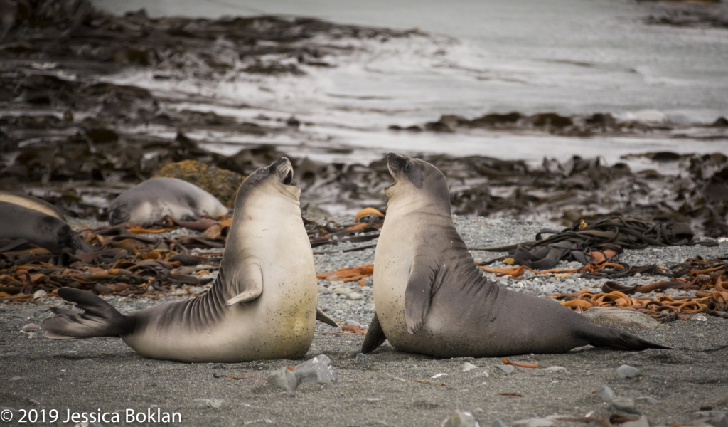 Elephant Seal Weaners Playing