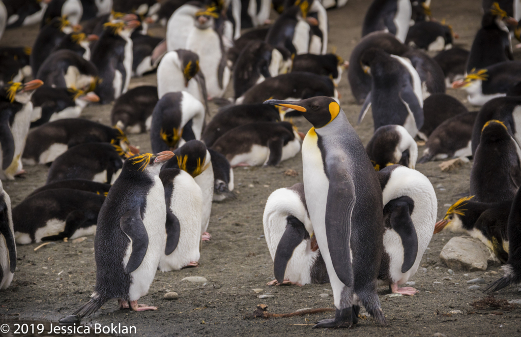 King Penguin Visiting Royal Penguin Colony
