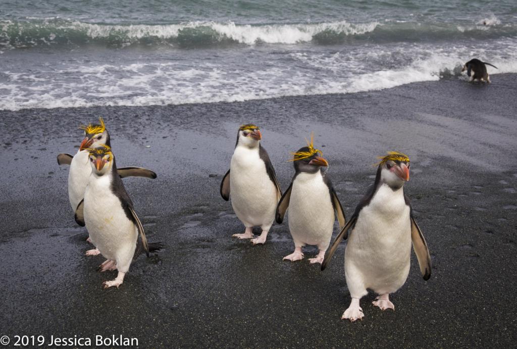 Royal Penguin Line-up