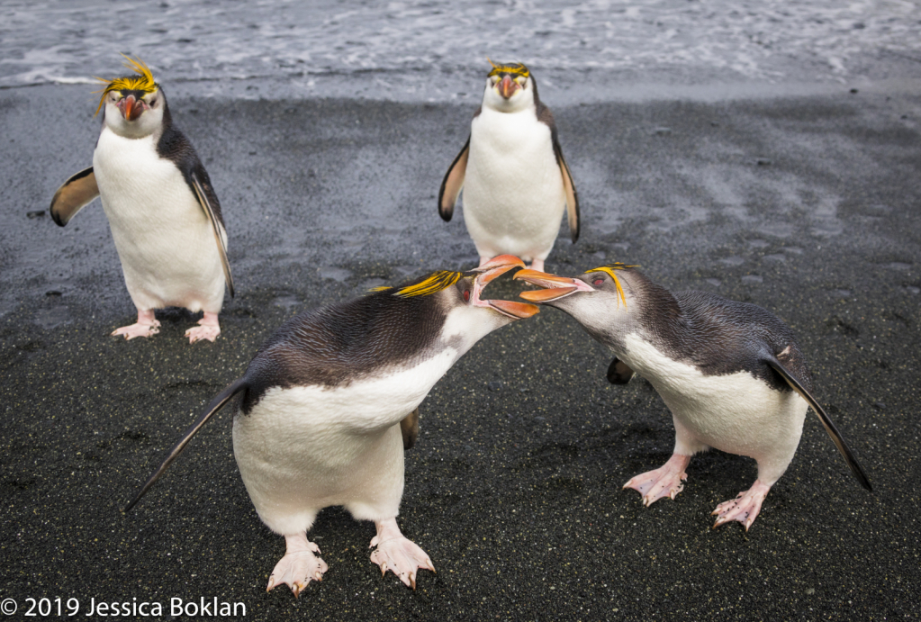 Royal Penguins Fighting