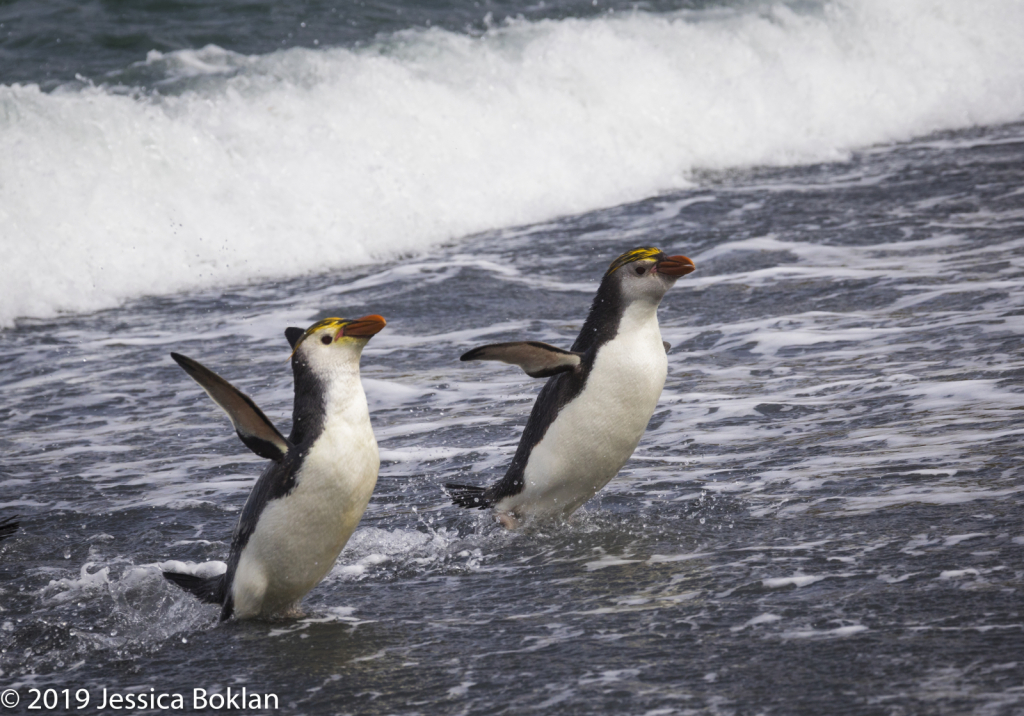 Royal Penguins Emerging from Sea