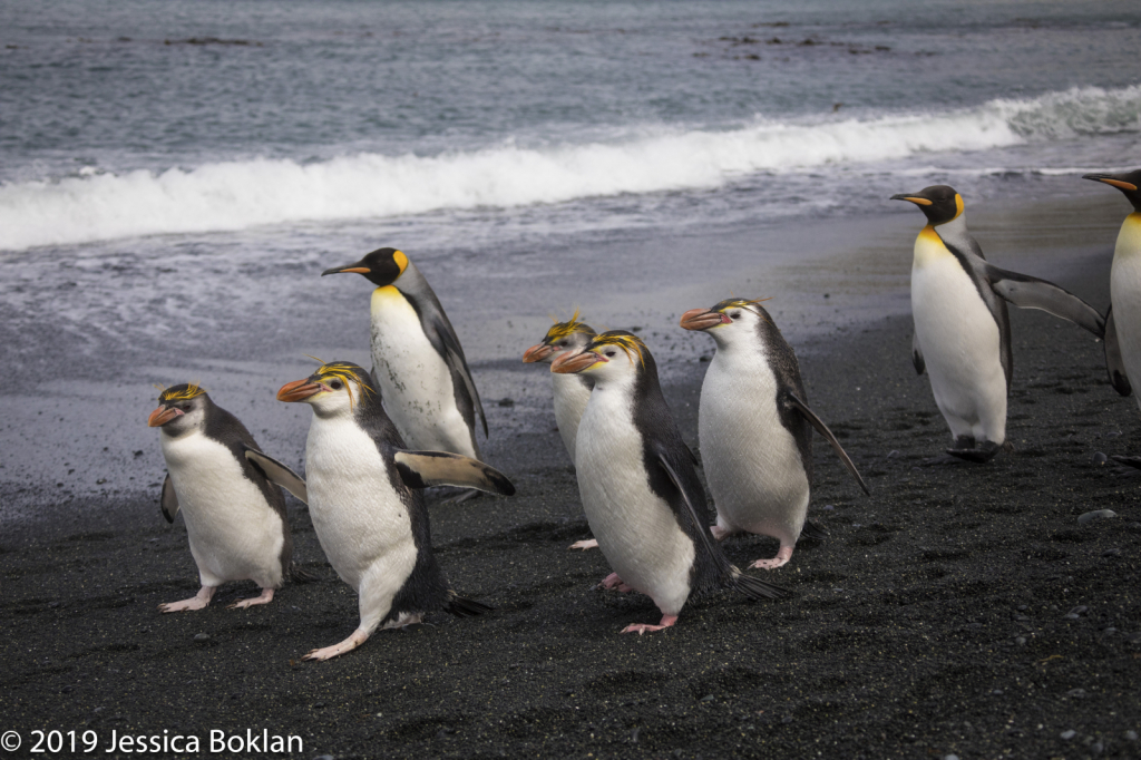 Royal Penguins joined by King Penguins Marching