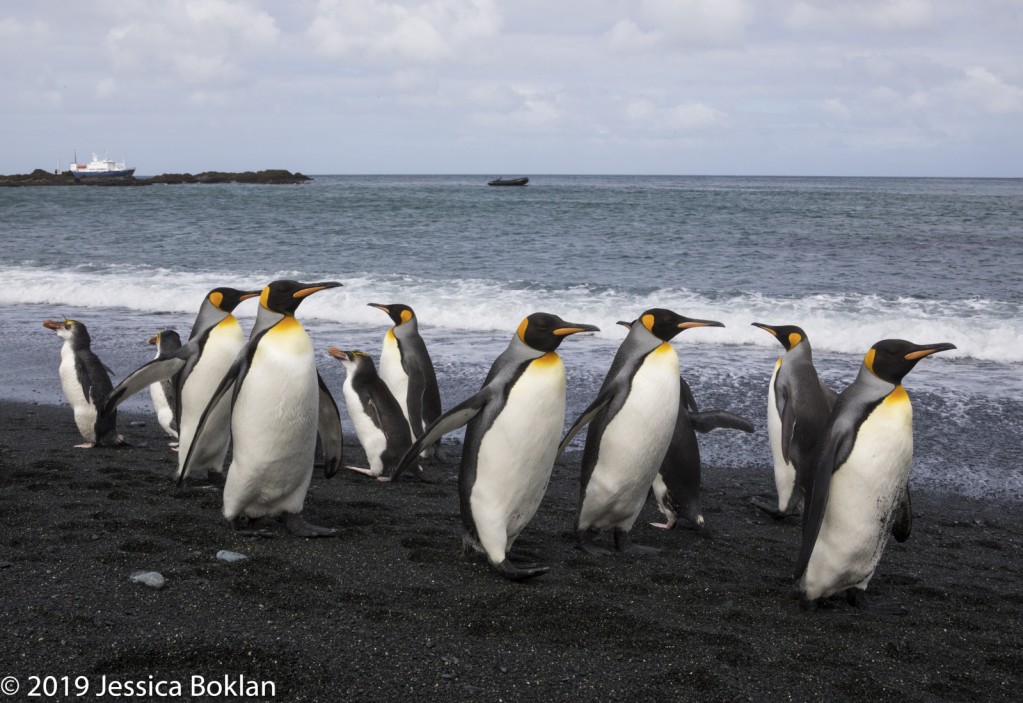 Royal and King Penguin Intersection
