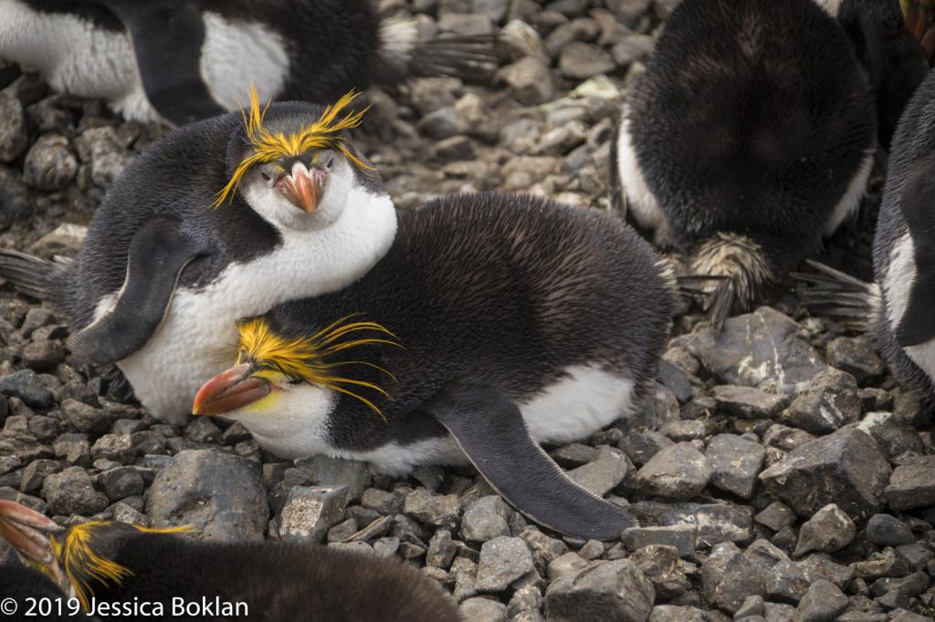 Nesting Royal Penguins