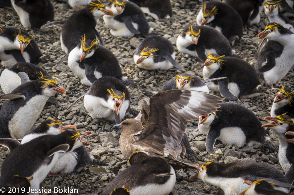 Nesting Royal Penguins Protecting Eggs from Skua