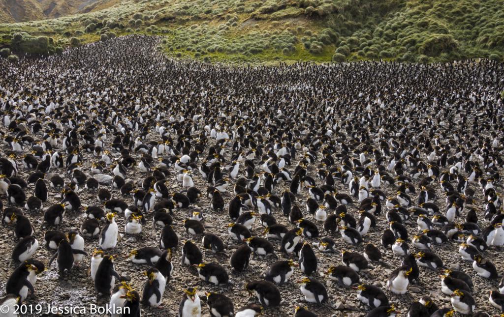 Royal Penguin Rookery