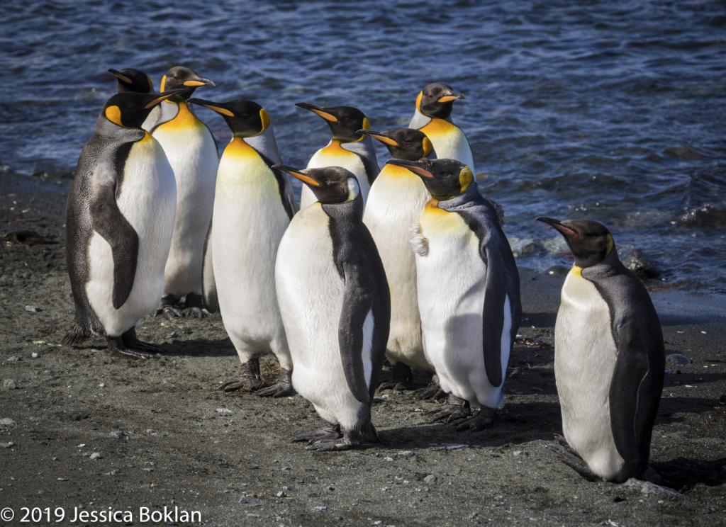 King Penguin Line-up