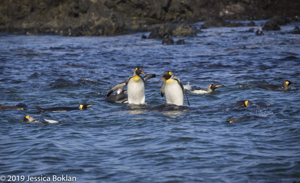 Supervised King Penguin Swimming