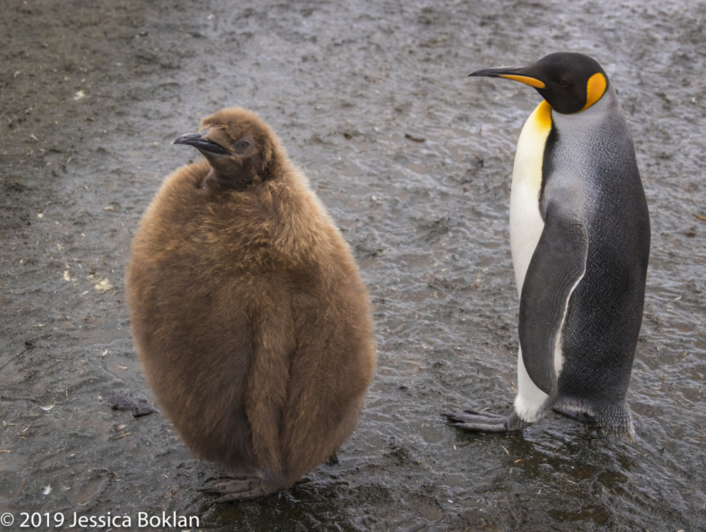 King Penguin with Chick