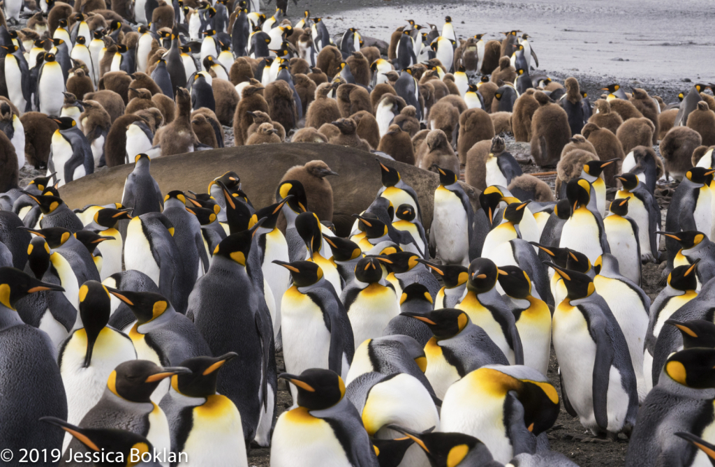 King Penguin Colony Surrounding Elephant Seal