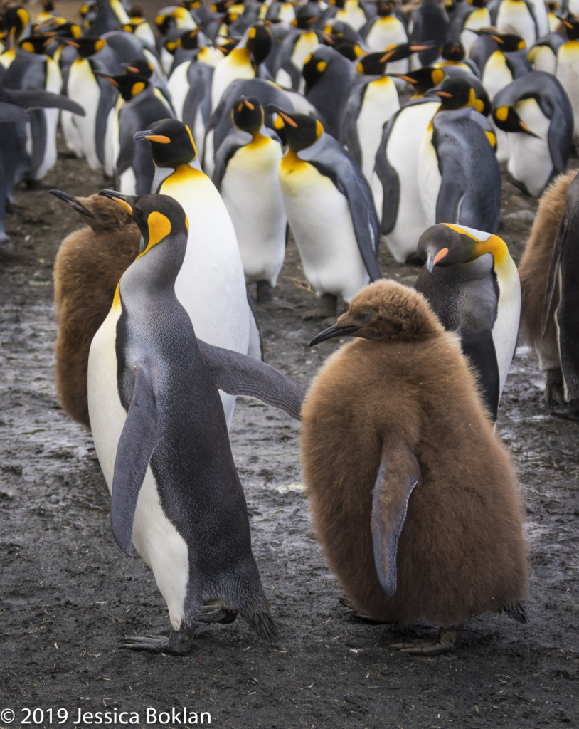King Penguin and Chick with Molting Wing
