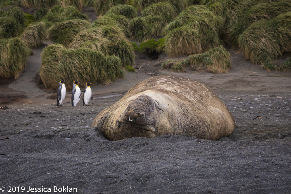 Elephant Seal with King Penguins