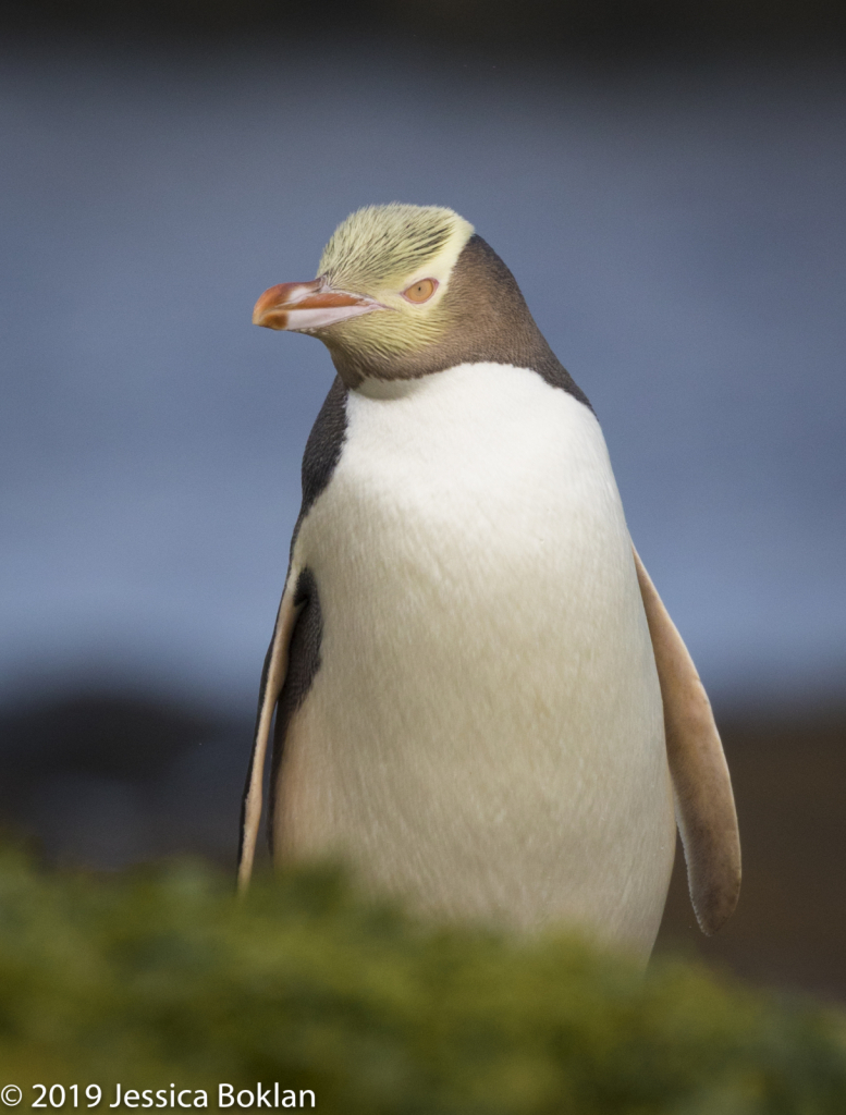 Yellow-Eyed Penguin - Enderby Is.
