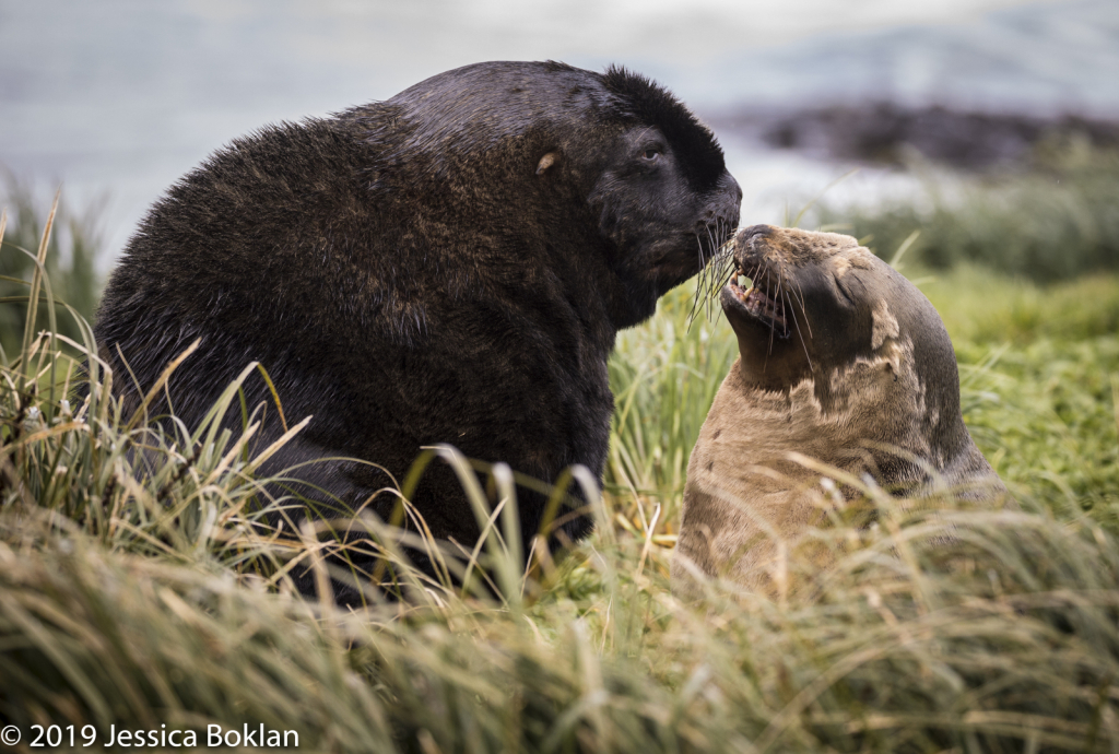 NZ Sea Lion Couple  - Enderby Is.