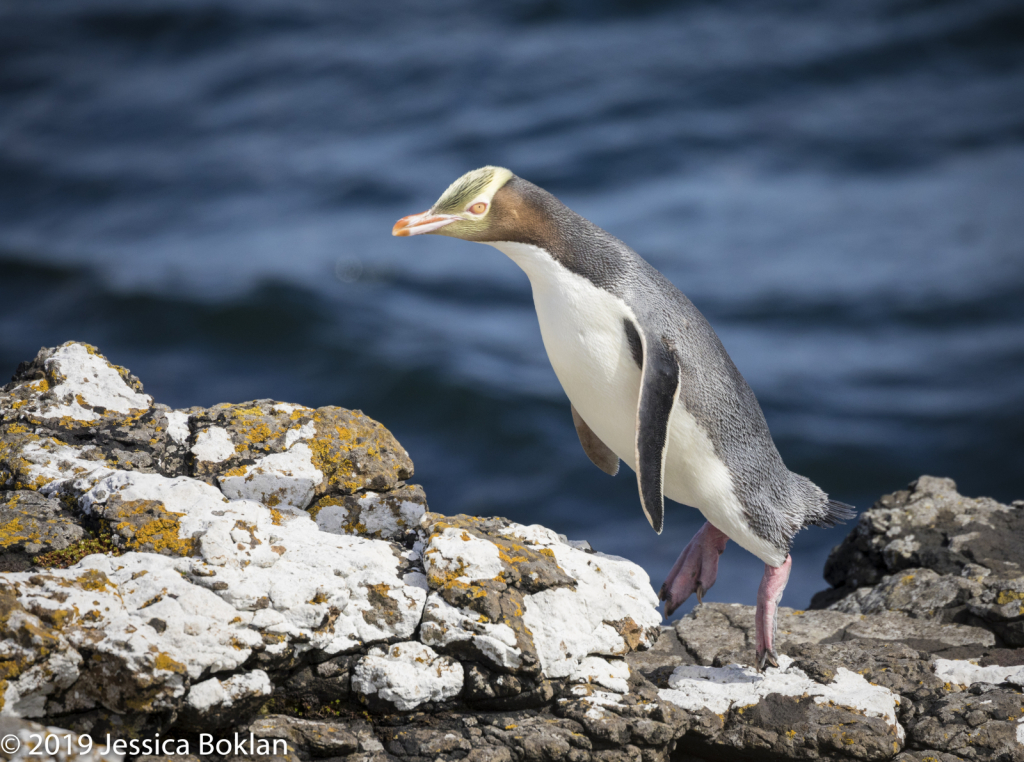 Yellow-Eyed Penguin Jumping - Enderby Is.