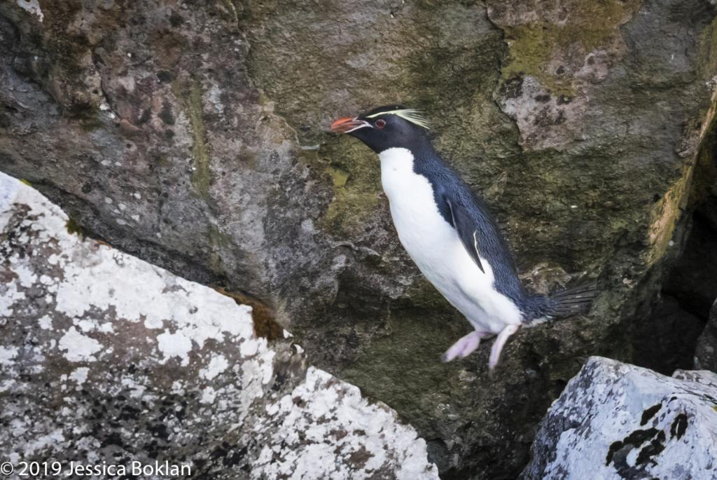 Eastern Rockhopper Penguin in Flight - Enderby Is.