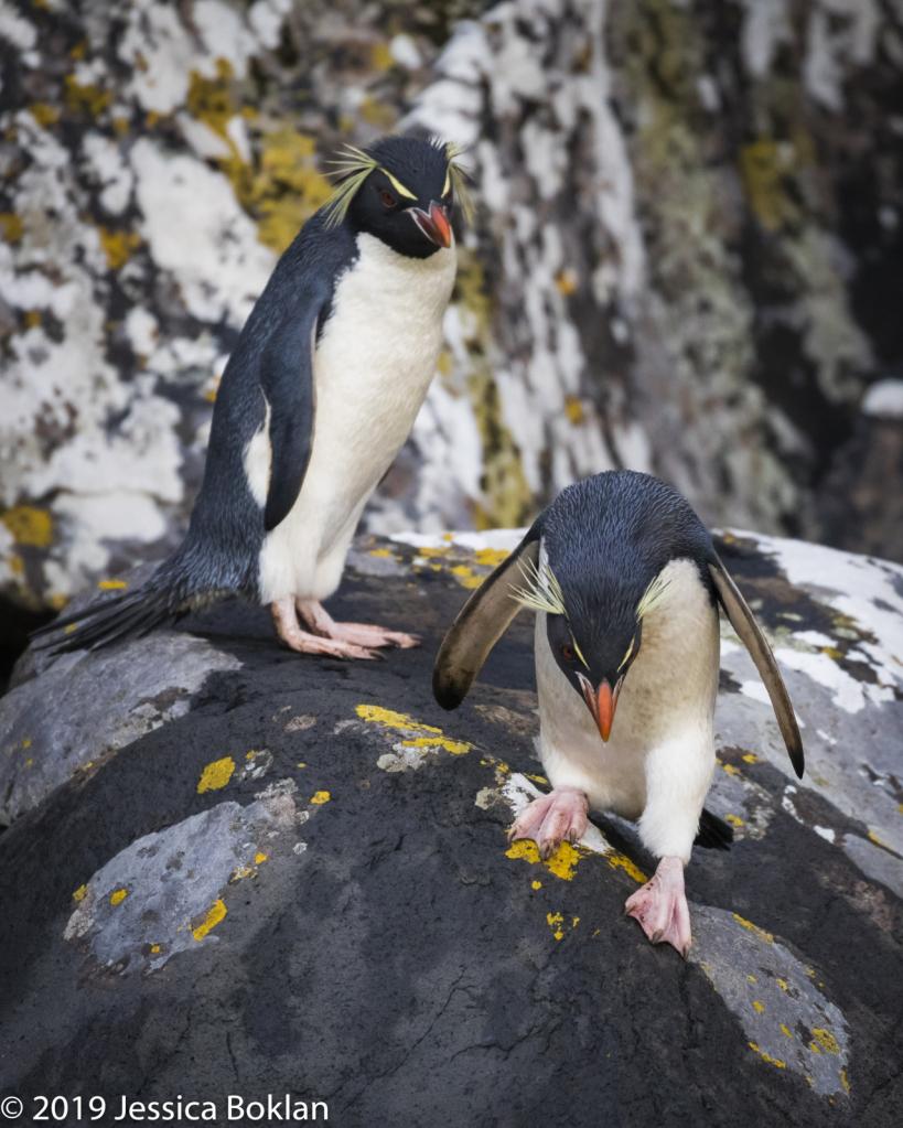 Eastern Rockhopper Penguins- Enderby Is.