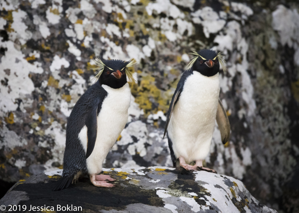 Eastern Rockhopper Penguins - Enderby Is.