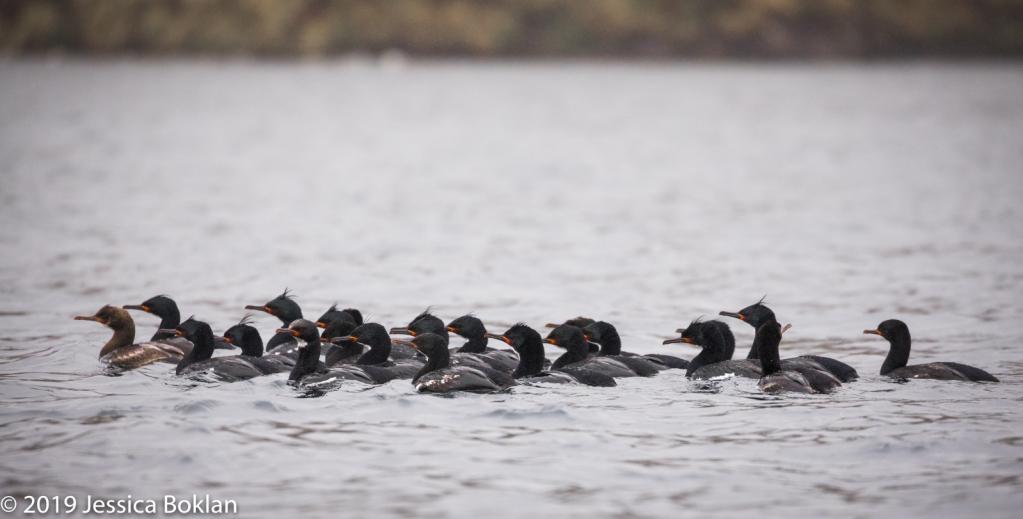 Campbell Island Shag Raft Led by Juvenile