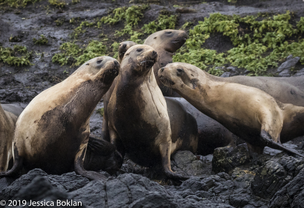 NZ Sea Lion Harem - Campbell Is.