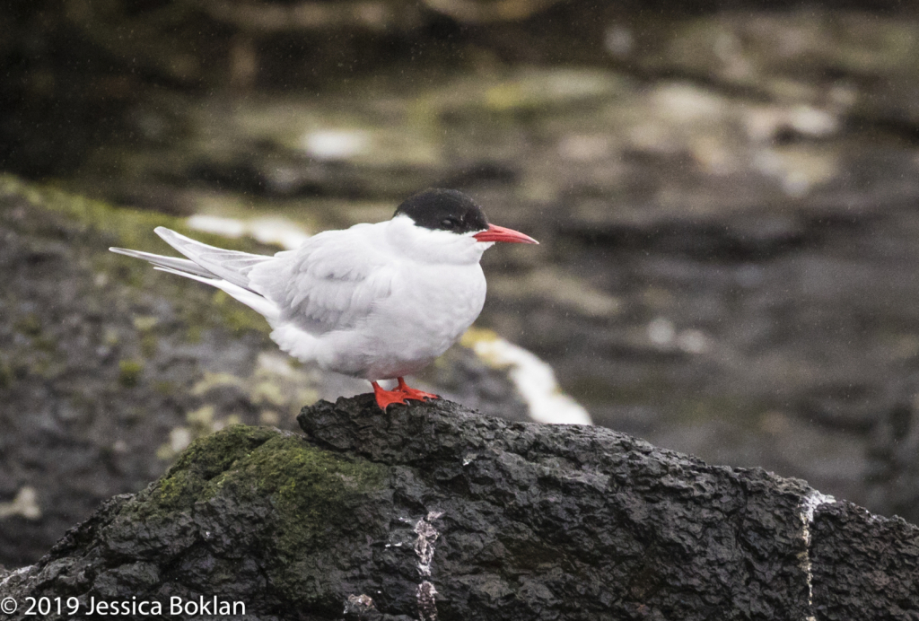 Antarctic Tern - Campbell Is.