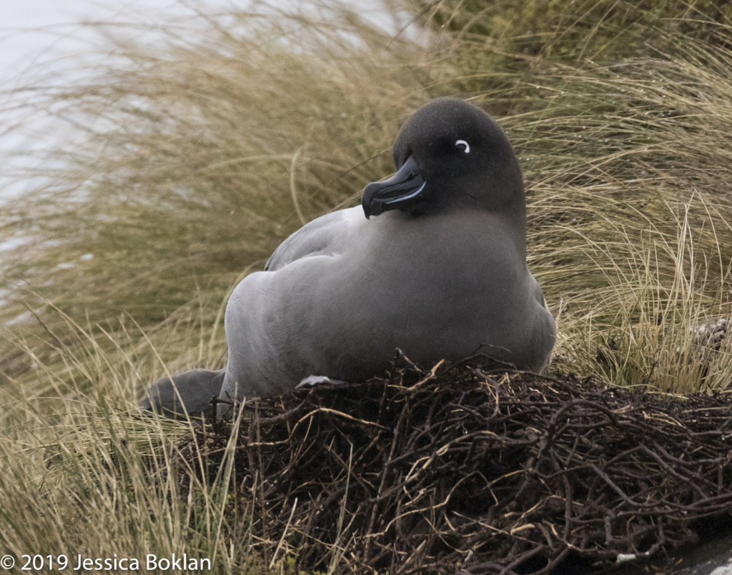 Light-Mantled Sooty Albatross Nesting-Campbell Is.