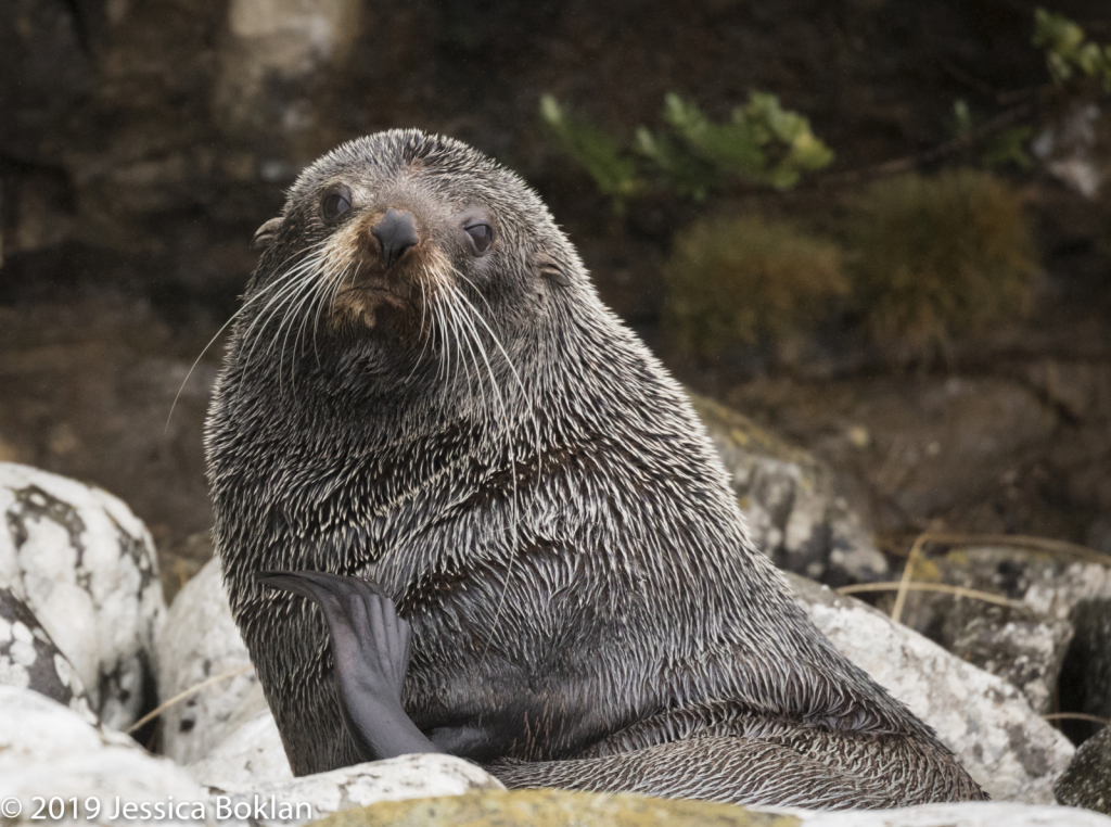 Fur Seal - Campbell Is.