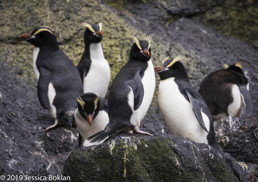 Erect-Crested Penguins - Antipodes Islands