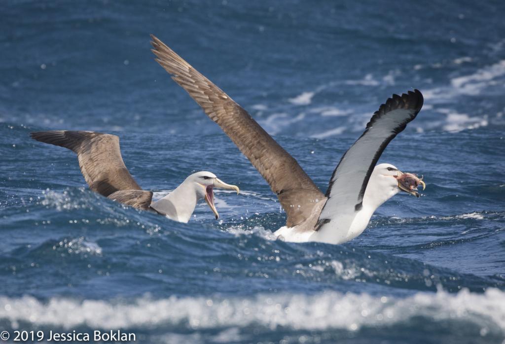 Salvin's Albatross Chase