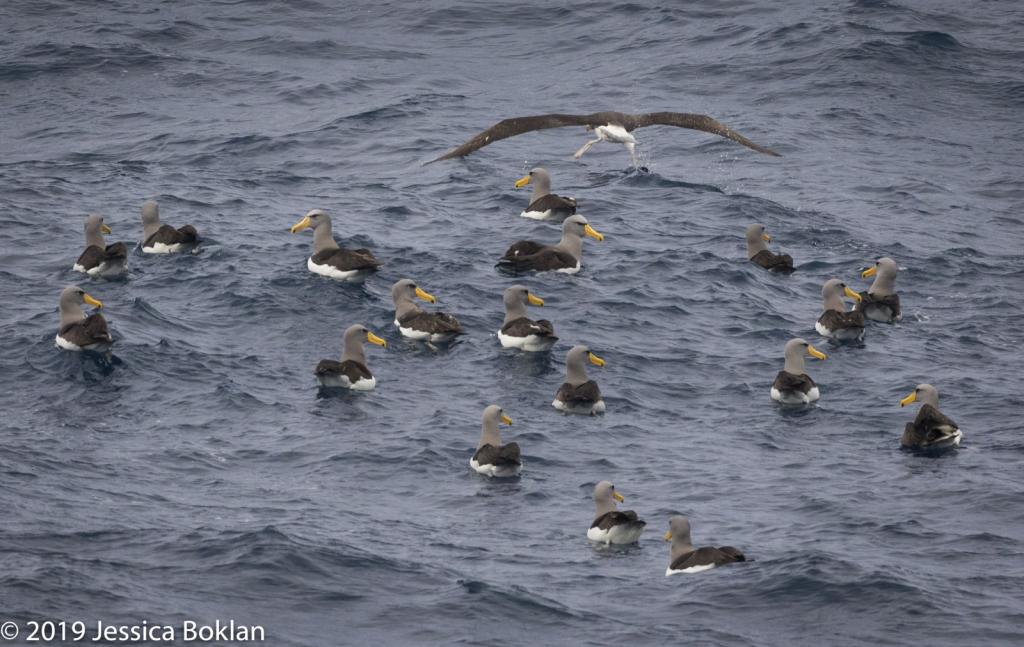 Chatham Islands Albatross Raft