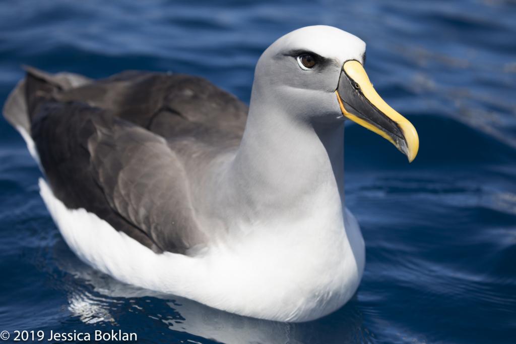 Northern Buller's Albatross