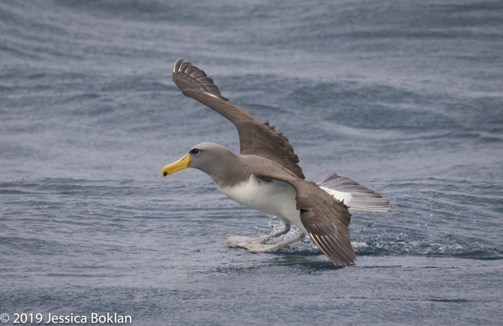 Chatham Islands Albatross Landing