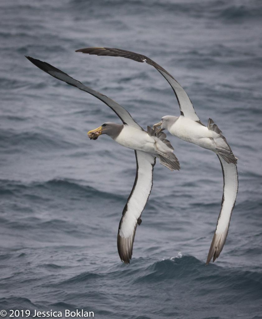 Salvin's Albatross Chasing Chatham Is. Albatross