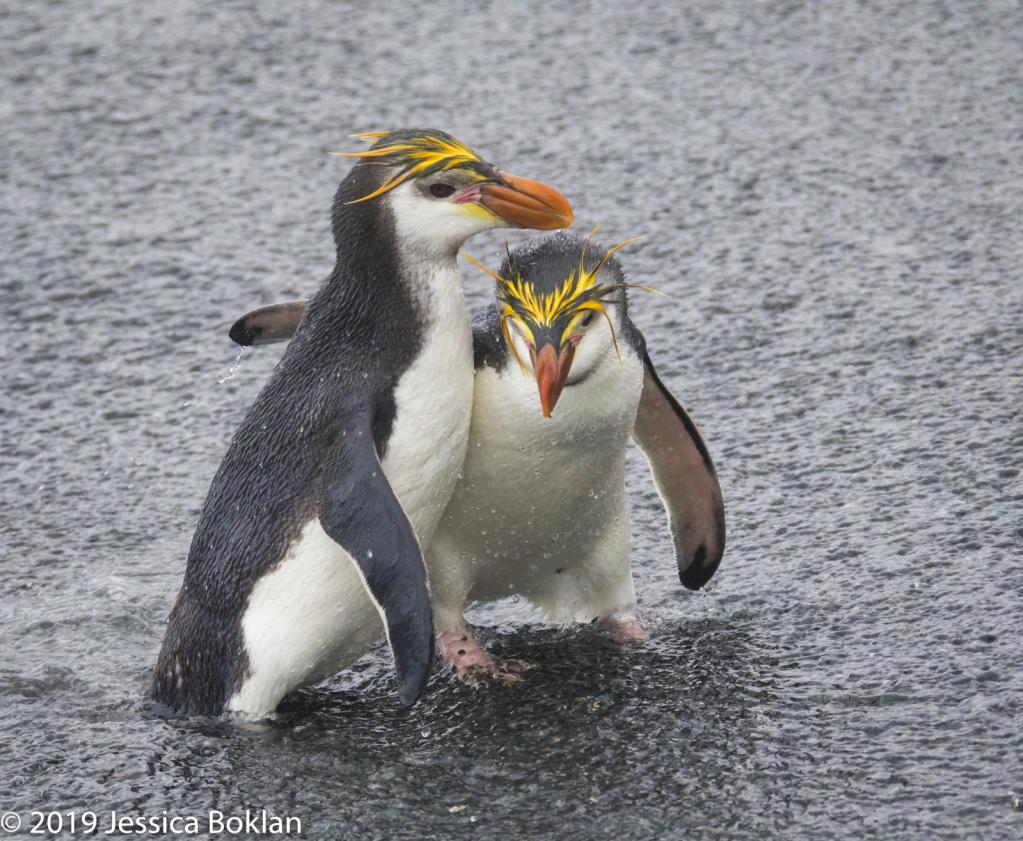 Royal Penguin Best Buddies