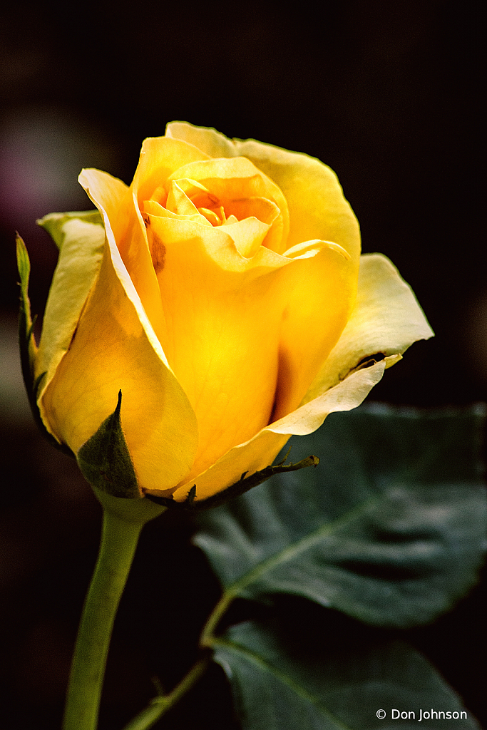 Yellow Rose BSG 6-7-20 296