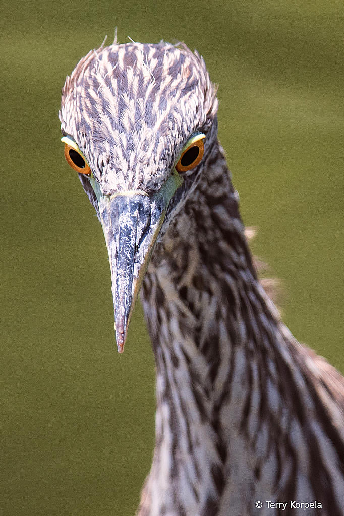 Black-crowned Night-heron (Juvenile)