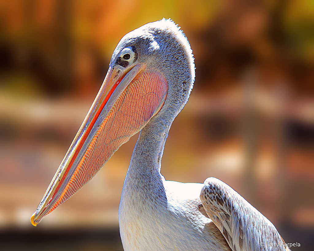 Pink-backed Pelican