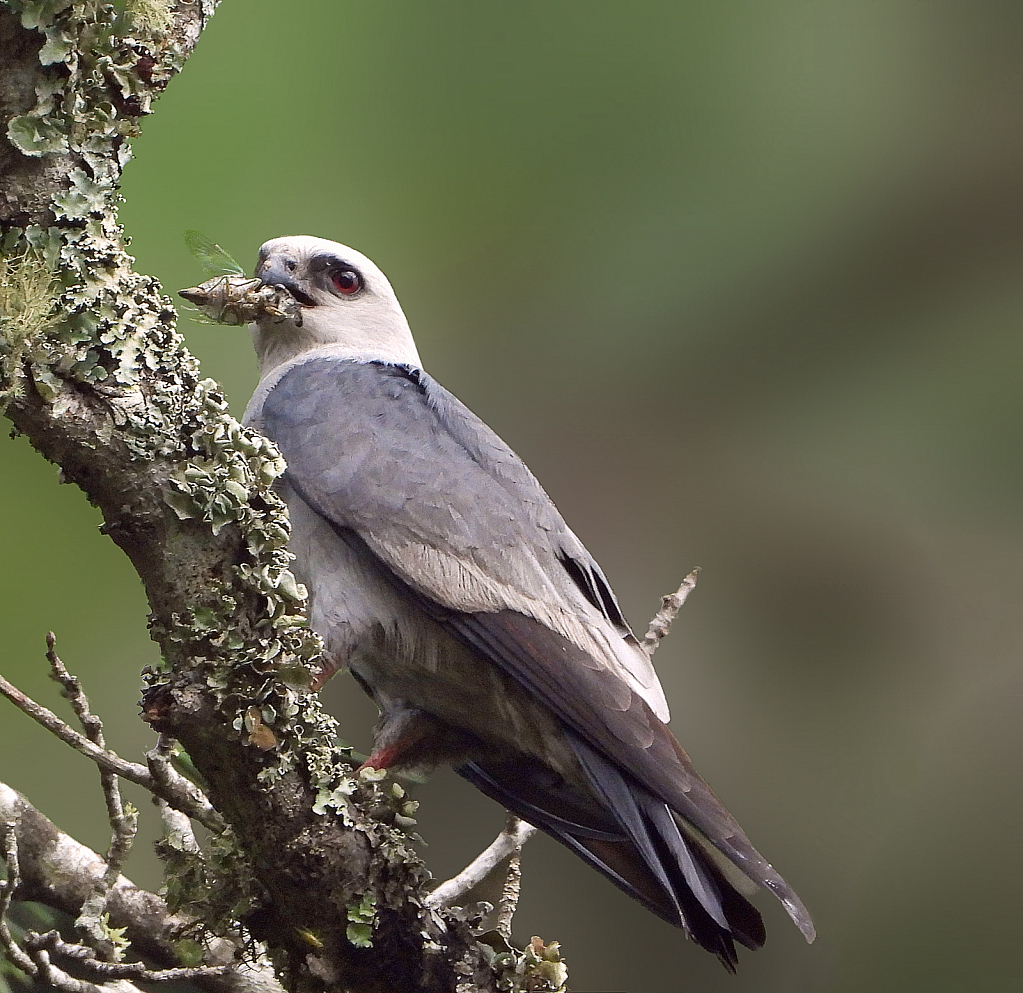 Mississippi Kite with Cicada