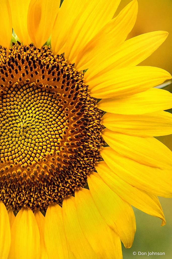A Sunflower Macro 7-20-20 077