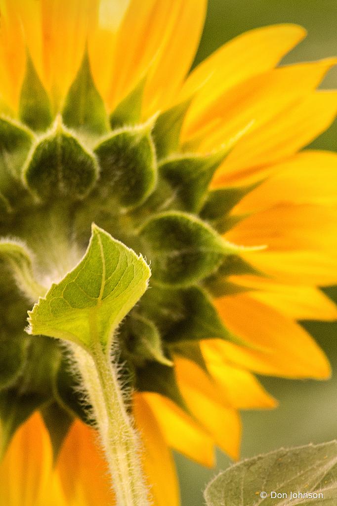 Back of Sunflower 7-20-20 039