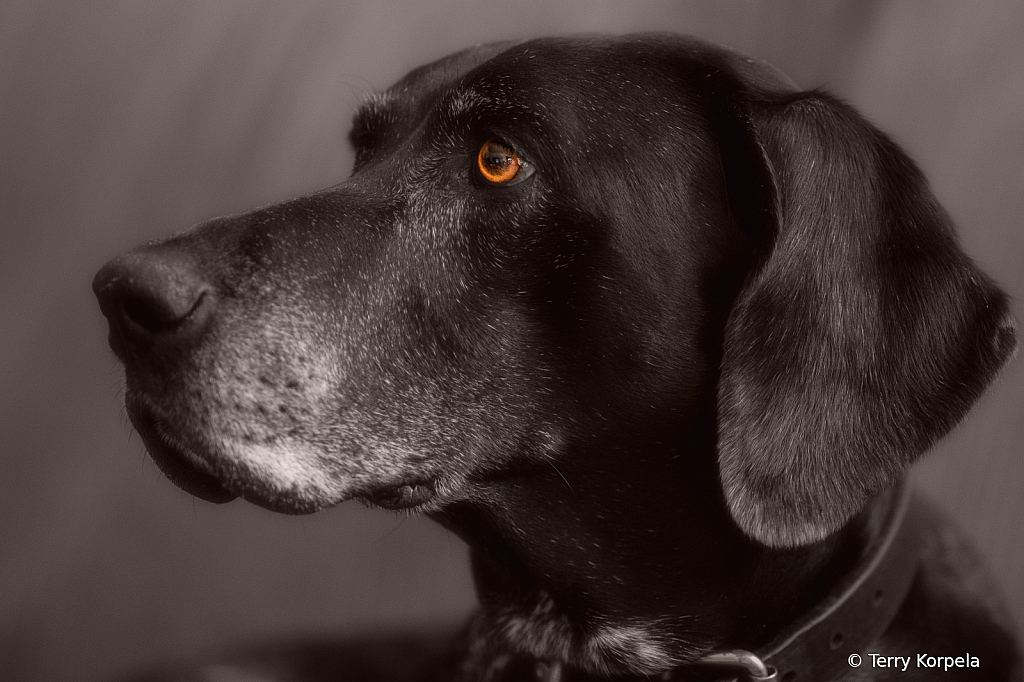 Tilly  14 Year Old GSP
